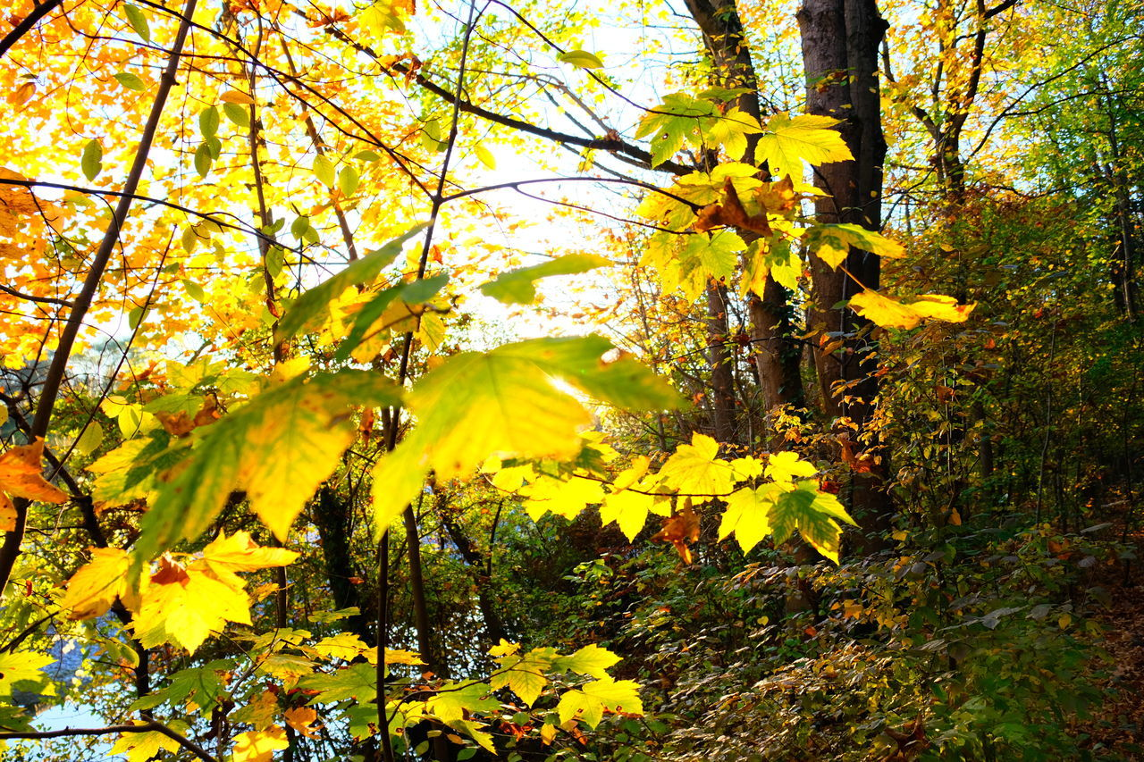 yellow, tree, plant, autumn, beauty in nature, growth, change, nature, branch, no people, day, leaf, plant part, flower, flowering plant, tranquility, outdoors, tree trunk, land, trunk, maple leaf, leaves, autumn collection, natural condition, fall