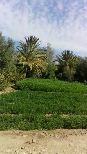 Agriculture Beauty In Nature Day Field Grass Green Color Growth Landscape Nature No People Outdoors Palm Tree Plant Scenics Sky Tranquil Scene Tranquility Tree