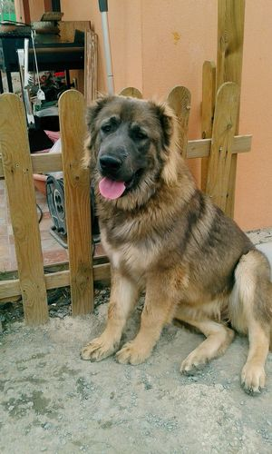 Caucasianmountaindog Puppy Dog Inlove Sevilla Pets Pet Love Beautiful Creatures Sasha