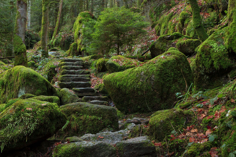 Wanderlust - Black Forest Autumn Black Forest Germany Nature Stairway Steps Beauty In Nature Day Green Color Grow Growing Plants Growth Jungle Landscape Lush Foliage Moss Nature No People Outdoors Scenics Tranquil Scene Tranquility Tree