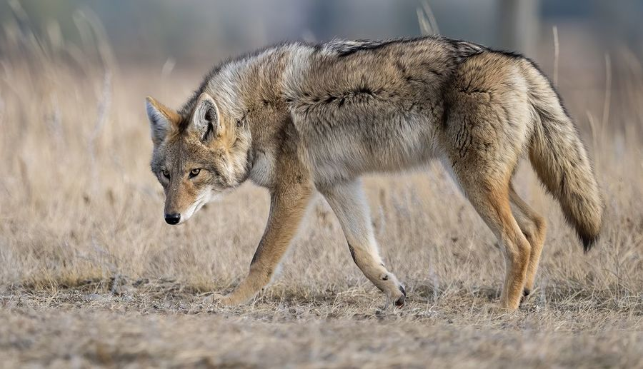 Side view of coyote in forest
