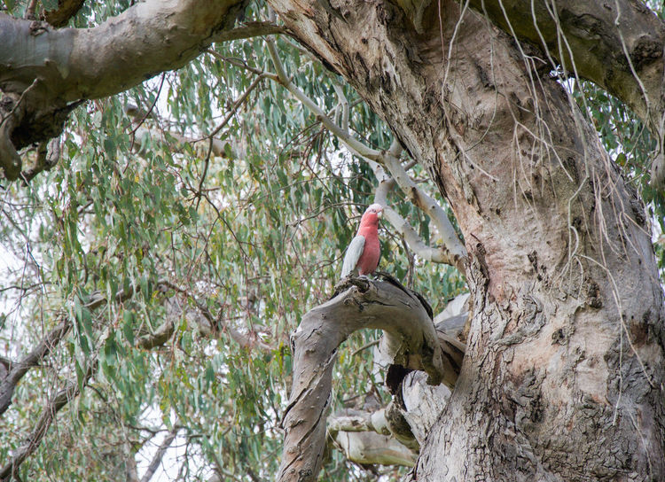 One pink and grey galah in native tree in Western Australia. Animal Australia Avian Bird Bird Photography Branch Day Fauna Foliage Galah Gray Green Growth Nature One Animal Outdoors Parrot Pink Rose Breasted Grosbeak Tree Tree Trunk Western Australia Wild Wildlife Wildlife & Nature