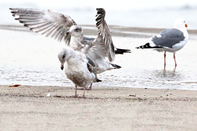 Animal Animal Themes Animals In The Wild Arid Climate Balance Beach Beachphotography Beak Bird Bird Wings Bird Wingspan Day Full Length No People One Animal Outdoors Relaxing Seagulls Seagulls And Sea Side View Togetherness Two Animals Wildlife Wildlife & Nature Wildlife Photography