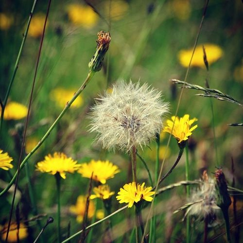 Hampstead  Heath WildaboutHampstead London Yellow Dandelion Flower Seed HEAD Weed Delicate Nature Symmetry Summer Photography Edible  Dayout Peaceful @wildabouthampsteadheath WildHeath Photooftheday Instagramlondon
