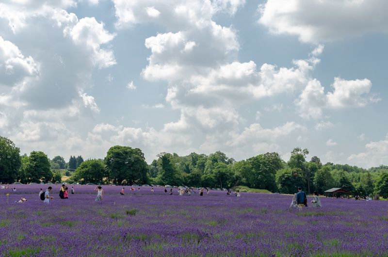 Season  Lavendula Lavender Scenic Violet Purple Flowers Tourism Trees Blue Sky Sky Clouds Summertime Summer Crowd Of People Lavender Field Plant Sky Cloud - Sky Real People Flower Group Of People People Field Beauty In Nature Crowd Flowering Plant Nature Day Outdoors