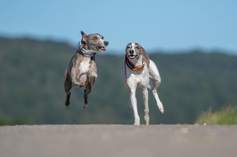 Dogs running on land