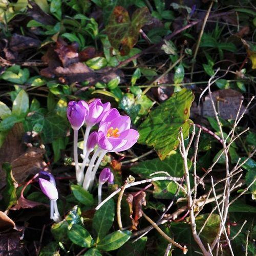 Spring!!! Krokus Crocus Crocusvernus Spring frühling flora pflanzen plants blume vsco vscocam vscophile vscogram vscoism vscolover