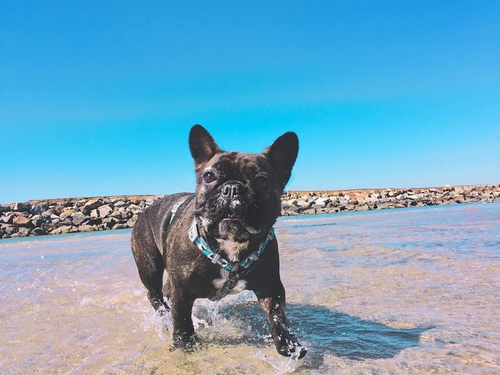 Portrait Of Dog By Sea Against Clear Blue Sky