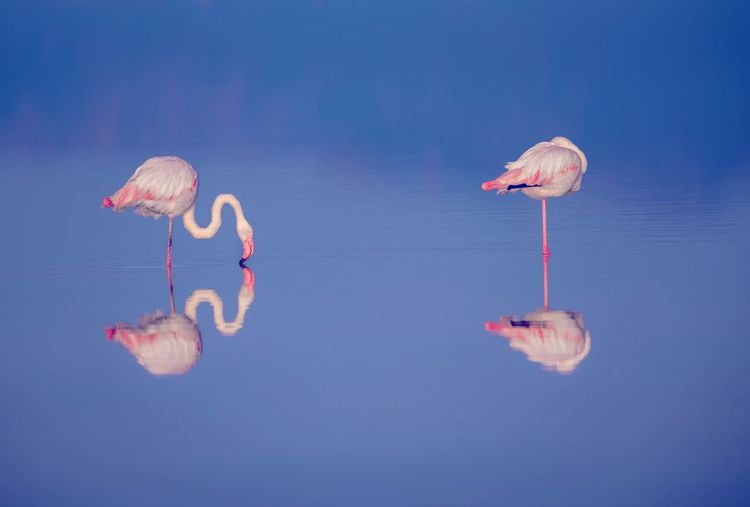 Water Reflection Flamingo No People Waterfront Nature Pink Color Beauty In Nature Outdoors Sea Group Of Animals Blue Animal Day Animal Wildlife Animals In The Wild Animal Themes Tranquility Floating On Water