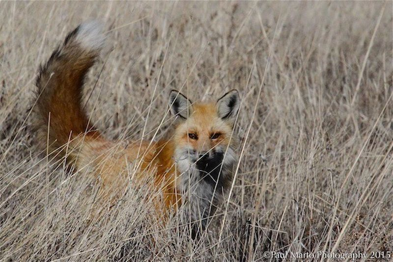 Check This Out The Places I've Been Today Cute Animals Predators Wildlife Beautiful Animals  Fox Wild Animal Utah EyeEm Nature Lover