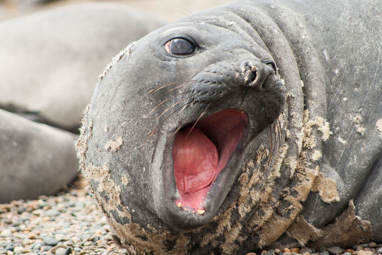 Close-Up Of Seal With Mouth Open