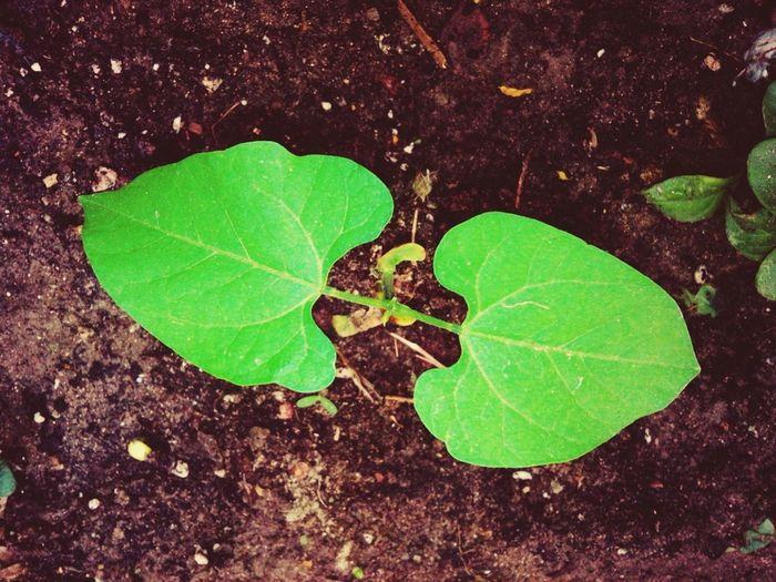 Plants Beans Beautiful Gorden