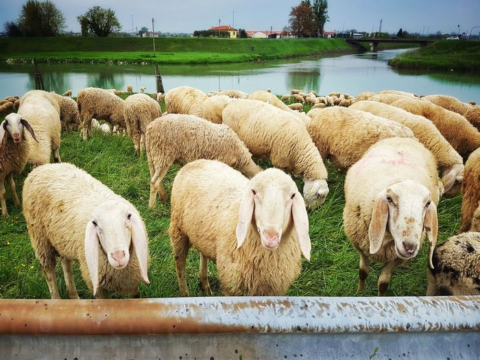 Sheeps Farm Farm Animal Sheep Sheeps Sheep Farm Grazing Grazing Sheep Livestock Dairy Farm Flock Of Sheep Flock Herd Drove Looking At Camera Animal Mammal Water Livestock Farmland Pasture Herbivorous