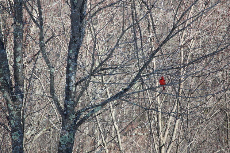 Cardinal in the Trees Bare Tree Tree Red Low Angle View Nature Day Outdoors Nature Winter Sunny Snowy Trees Forest Trees Beauty In Nature Canon 1300d Birds Bird Flying Cardinals Red Cardinal Red Bird Bird Photography Bird Watching High Contrast Contrasts Perspectives On Nature