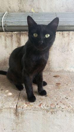 Domestic Cat One Animal Feline Pets Domestic Animals Black Color Looking At Camera No People Outdoors BLackCat Gatos
