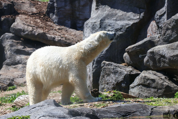 polar bear in the zoo Mammal Animal Themes Animal Rock Solid One Animal Rock - Object Vertebrate Nature Animal Wildlife Day Animals In The Wild No People Domestic Animals Pets Sunlight Side View White Color Focus On Foreground Domestic Outdoors Zoo Herbivorous Polar Bear
