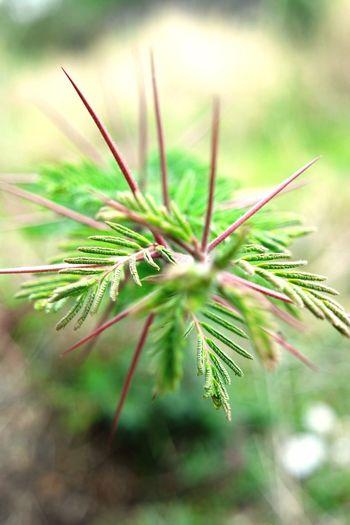 Espinas Plants Plants 🌱 Plantas Plantasmexicanas