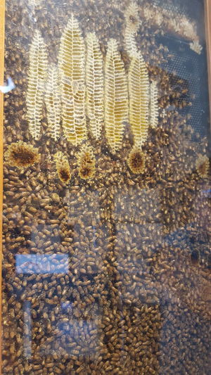 Honeycomb Bees At Work