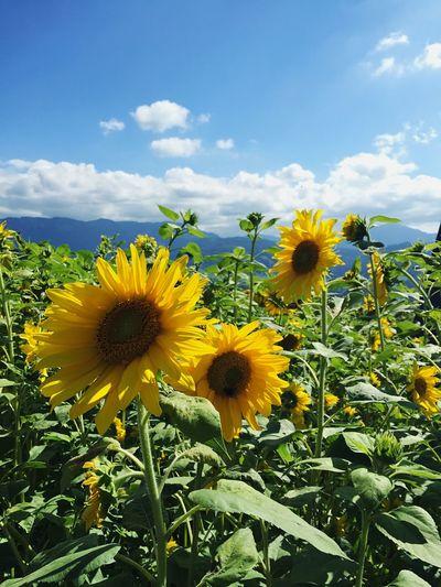 🌻👯 Sunflower Sunflowers Sundayhike Hiking Sunday Morning SundayFunday Flowers Flower Collection Summer Sun