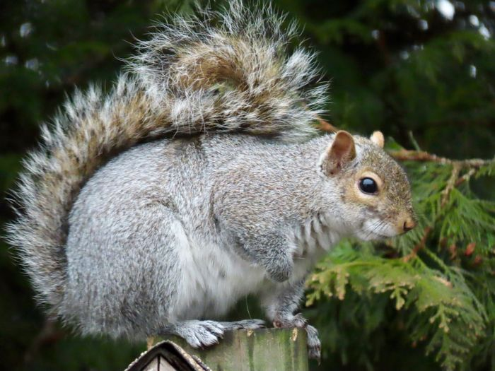 Squirrel closeup perched atop a wooden post EyeEm nature lover outdoors animal themes focus on the foreground Animal Wildlife One Animal Rodent Side View No People
