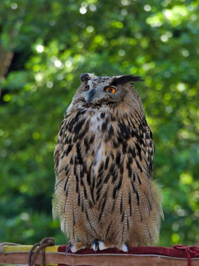 Eagle owl sitting on wood