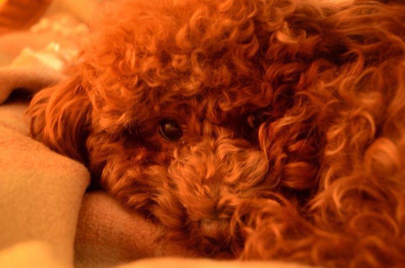My Teddy dog