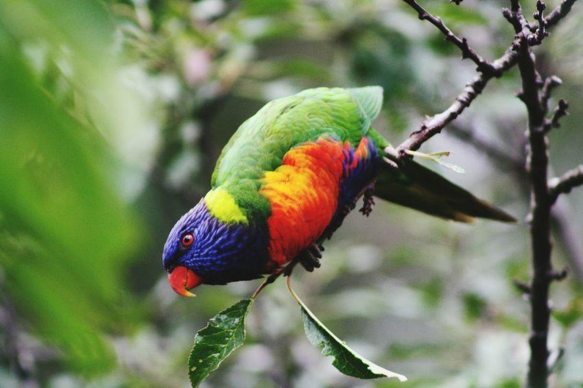 Rainbowlorikeet Colours Australia Bird Photography