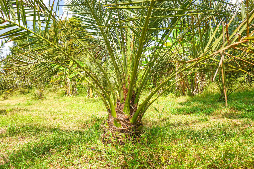 Barhi Dates Dates On Date Palm Agriculture Barhi Date Palm Date Palm Garde Date Palm Tree Date Palms Nature