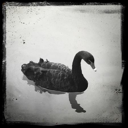 Black And White Swan Lake
