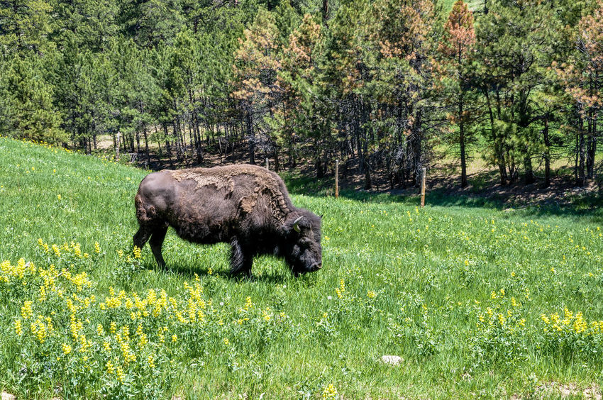 Lone buffalo grazing on a beautiful meadow Bison Reservation Colorado American Symbol Animal Themes Beauty In Nature Bison In Natural Environment Bovid Day Endagered Species Field Flower Grass Grassland Grazing Buffalo Green Color Large Mammal Mammal Meadow Mountains Nature No People One Animal Outdoors Wildflowers