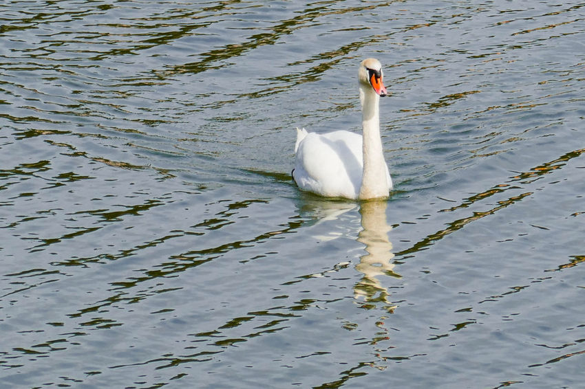 Animal Themes Animal Wildlife Animals In The Wild Beauty In Nature Bird Celje Daily Walk Day High Angle View Lake Lake Šmartinsko Nature Nature No People One Animal Outdoors Reflection Slovenia Swan Swimming Walks Water Water Bird