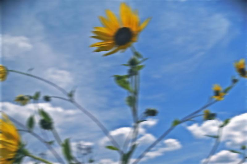 Beauty In Nature Bokeh Photography EyeEm Best Shots EyeEm Nature Lover Flower Flower Head Flowers In The Wind Gerhard Richter Outdoors Stem Sunflowers🌻 Yellow Flower