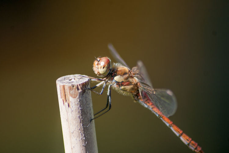 Animal Behavior Animal Themes Animal Wing Animals In The Wild Beauty In Nature Close-up Day Dragonfly Extreme Close-up Focus On Foreground Green Color Insect Invertebrate Nature No People One Animal Perching Red Twig Wildlife Zoology