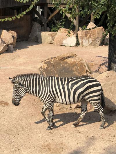 Zebra crossing in a zoo