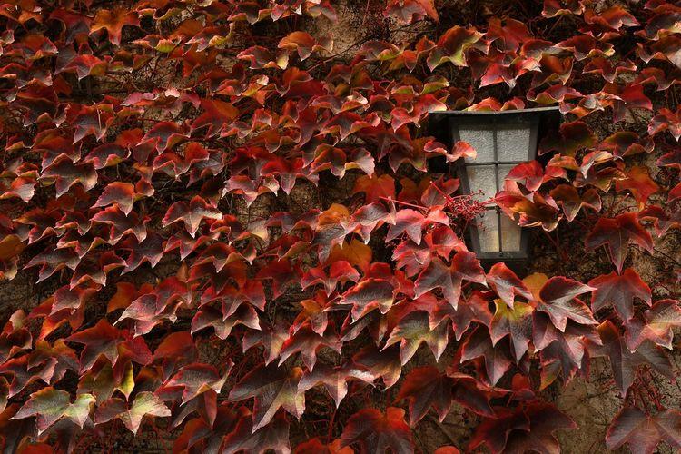 red leaves during autumn season at Novacella Abbey (Varna) Bolzano, Italy. Abbey Alto Adige Autumn colors Monastery Novacella Red Leaves🍂 Trentino Alto Adige Varna Yellow Leaves Bolzano Bressanone Fall Season Colors Foliage Leaf Leaves South Tyrol, Italy