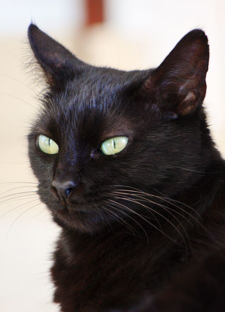 Pets Domestic Animals Domestic Cat One Animal Animal Themes Mammal Black Color Feline Looking At Camera Close-up Yellow Eyes Focus On Foreground Portrait Black Cat Black Cat Photography Black Cat Is Just So Beautiful. Black Cats Lovers Black Cat Head Shot Black Cat Love Black Cat <3 Black Cats Are Beautiful Black Cat Eyes Black Cat Watching Pet Cat Pet Cats