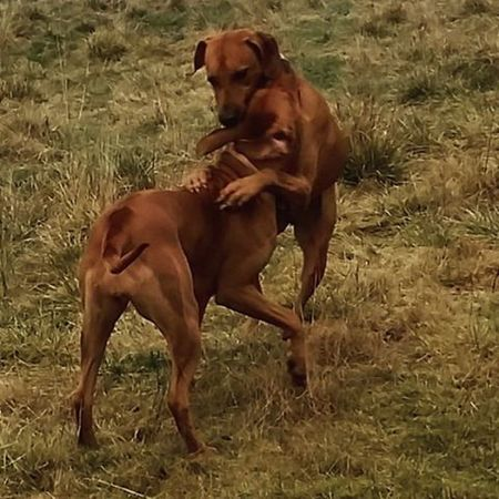 Joy und Ohana beim Toben 😊 Ridgeback Rhodesian Rhodesianridgeback Hund Dog Prinzessin Picoftheday Instadogs Liondog Löwenhund Joy Love Ohana Rr Projectrr Action Aktion Fun Spaß