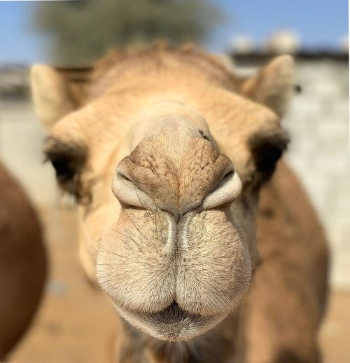 Camel Close-up Focus On Foreground No People Day Beach Land Nature Selective Focus Outdoors Growth Sea Freshness Fruit Healthy Eating