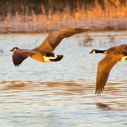 Waterfowl Hunt Goosehunting Waterfowlhunting ducksunlimited wildlife wildlifephotography waterfowltalk geese