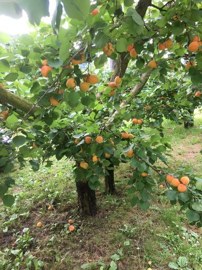 Marillenbaum Growth Plant Fruit Healthy Eating Green Color Food And Drink Tree