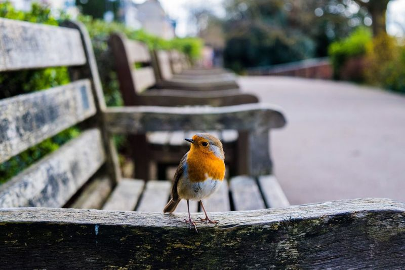 Bird Animal Themes Animals In The Wild One Animal Perching Day Focus On Foreground Animal Wildlife Robin Outdoors No People Nature Close-up Retaining Wall