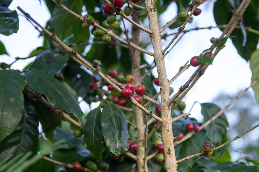 Coffee Coffee Bean Coffee Tree Coffee Plantation Coffee Leaves Raw Coffee Bean Raw Coffee Fruit Healthy Eating Food And Drink Food Growth Berry Fruit Plant Part Leaf Plant Tree Branch Red Close-up Freshness Wellbeing Nature Day Focus On Foreground No People Low Angle View Outdoors Ripe Rowanberry EyeEmNewHere EyeEm Best Shots EyeEm Nature Lover EyeEm Selects EyeEm Gallery Eyeem Coffee Lover ForTheLoveOfPhotography Lao Coffee Lao Trip Paksong Laos