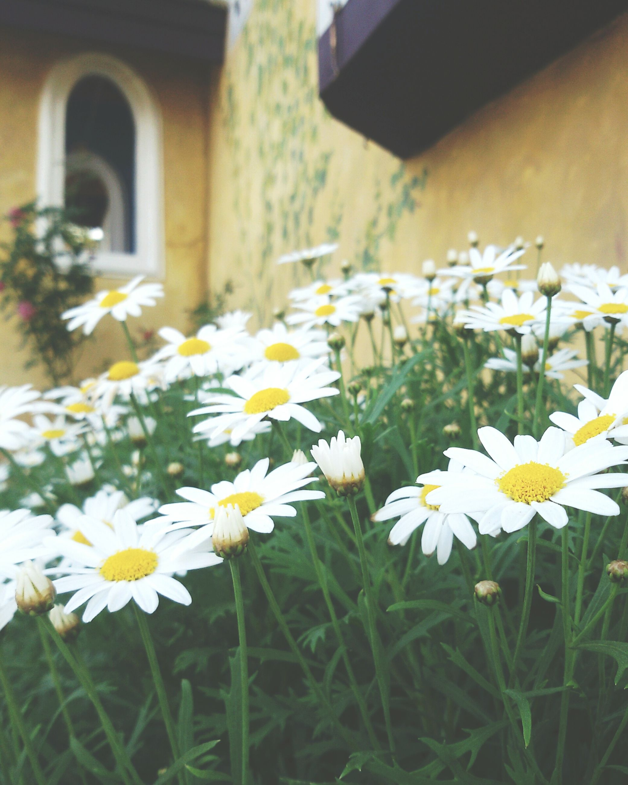 flower, freshness, fragility, petal, growth, white color, flower head, blooming, beauty in nature, focus on foreground, plant, nature, daisy, in bloom, close-up, building exterior, built structure, stem, selective focus, field