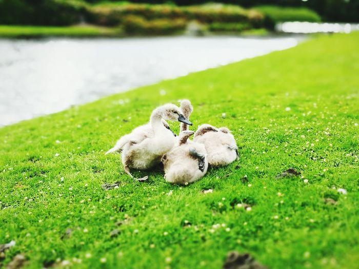 Cygnets resting on grassy lakeshore