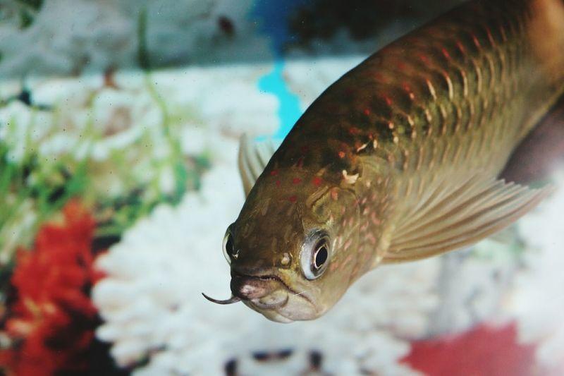 Fish arowana Fish Fish Tank Arowana Fish