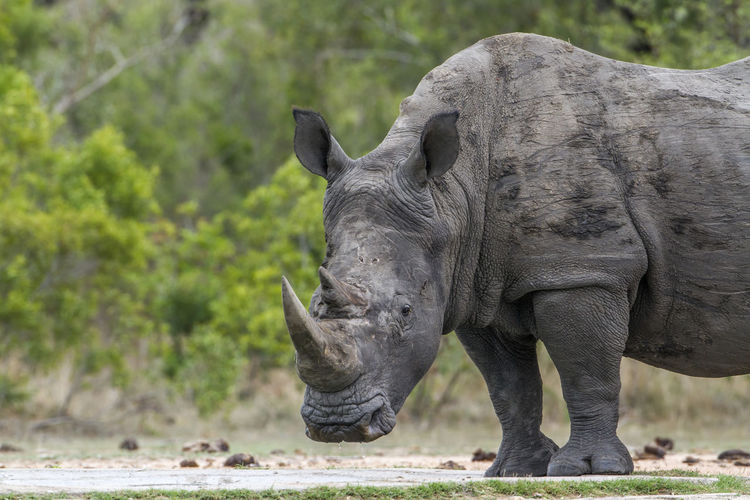 Side view of rhinoceros standing on field