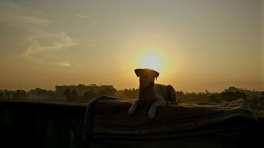 Labrador Sunrise Sunbathing☀
