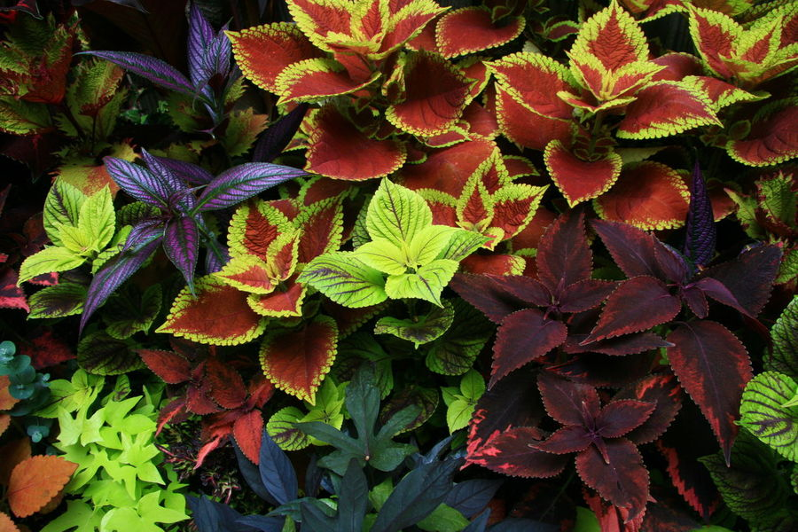Coleus Colorful Leaves Gardening Horiticulture Shady Gardening Summertime Muted Colors No People