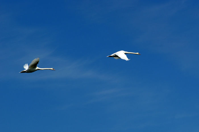 Swan Swans Flying Swan Sky Bird Photography Check This Out Flying High Flying In The Sky Animal Photography Nature Photography Hello World Animals In The Wild Birds Of EyeEm  Birds_collection Birds Animal Wildlife & Nature Wildlife