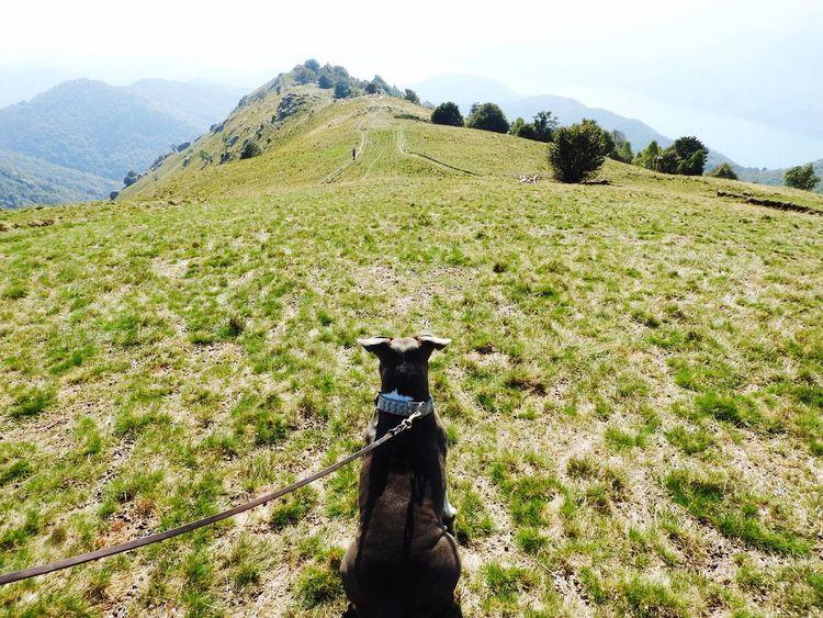 Montagna Kira Amstaff Prospettive Americanstaffordshireterrier
